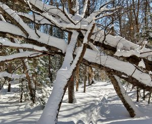 Fallen Senior Trees on Carpenter Road